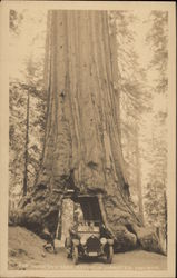 The Wawona Treet