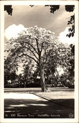Shower Tree - Hawaiian Islands