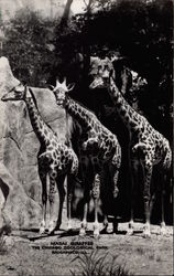 Masai Giraffes, The Chicago Zoological Park Postcard
