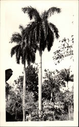 Climbing the Royal Palm, Algibe Farm