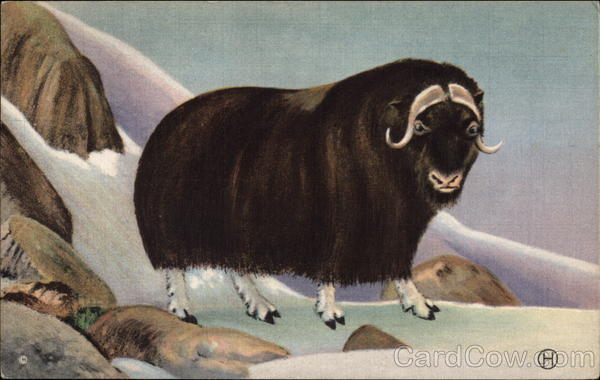 Musk-ox in Snow-Covered Mountains