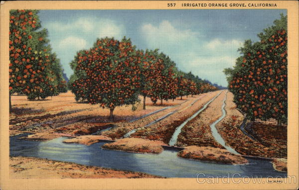 Irrigated Orange Grove California