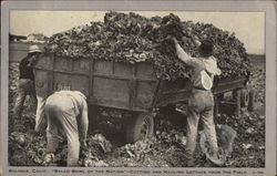 Salad Bowl of the Nation - Cutting & Hauling Lettuce from the Field