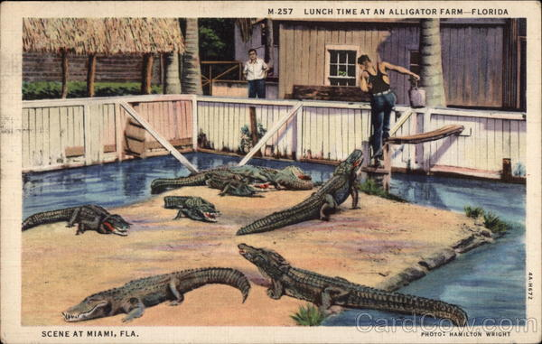 Lunch Time at an Alligator Farm Miami Florida