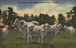 Florida Thoroughbred Brahma Cattle at Arcadia