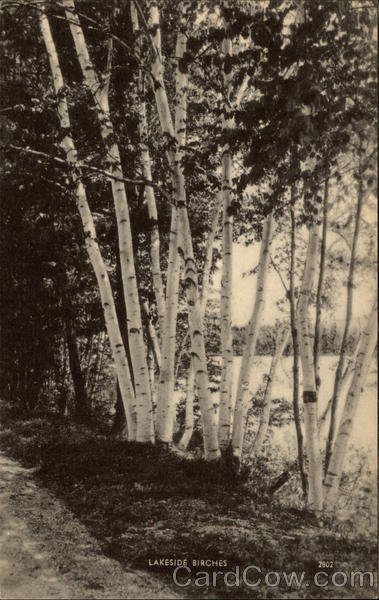 Lakeside Birches Trees