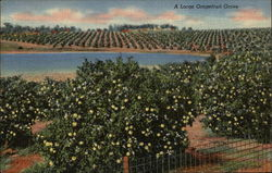 A Large Grapefruit Grove in Florida