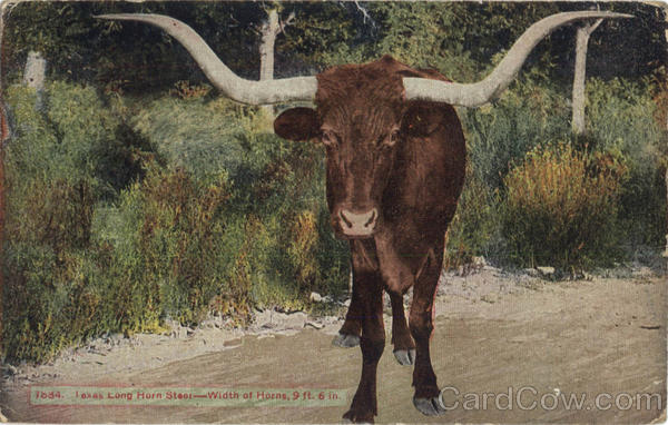 Texas Long Horn Steer Cows & Cattle