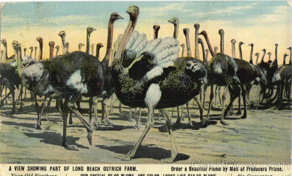 A View Showing Part Of Long Beach Ostrich Farm Ostriches