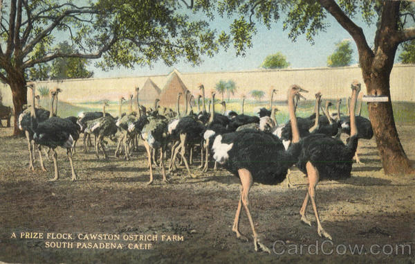 A Prize Flock Cawston Ostrich Farm South Pasadena California