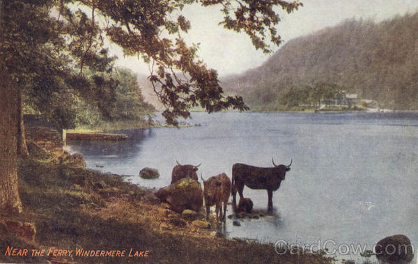 Near The Ferry Windermere Lake Cows & Cattle