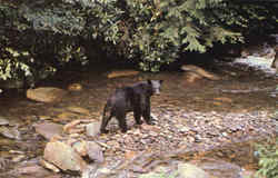 Black Bear Along A Mountain Stream