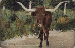 Texas Long Horn Steer