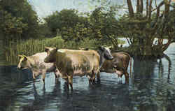 Cows Wading in Water