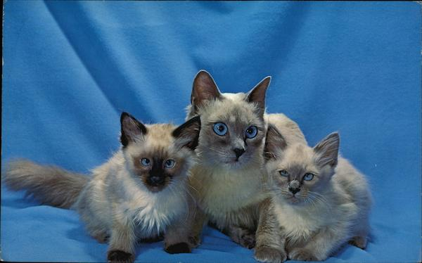 Family Portrait - Balinese Cats