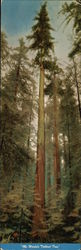 The World's Tallest Tree, Redwood Highway, California