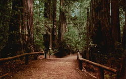 Pathway through the Redwoods