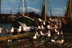 Sea Gulls feasting along New England Coast