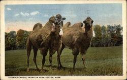 Siberian Camels, Franklin Park