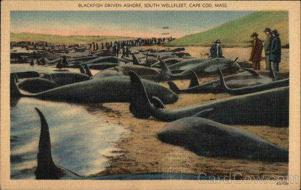 Blackfish Driven Ashore, South Wellfleet Cape Cod Massachusetts