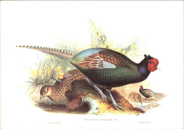 Pheasants Birds