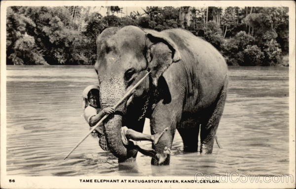 Tame Elephant at Katugastota River Kandy Sri Lanka