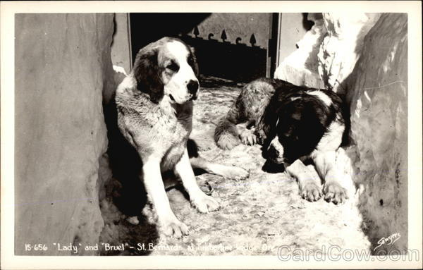 Lady and Bruel - St. Bernards Saint Bernards