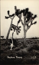 Lady Looks At Giant Joshua Trees