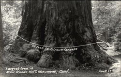 Largest Tree in Muir Woods - 53 feet Circumference