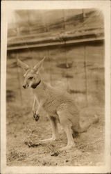 Kangaroo Wearing a Collar