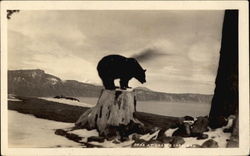 Bear at Crater Lake