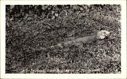 An Iguana - Edible Lizard of Panama