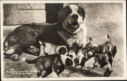 Litter of St. Bernard Puppies With Their Mom