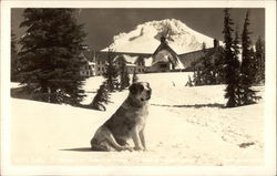 St. Bernard on Snow Covered Hill With Lodge in Background