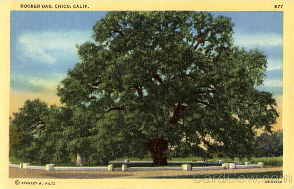 Hooker oak Chico California