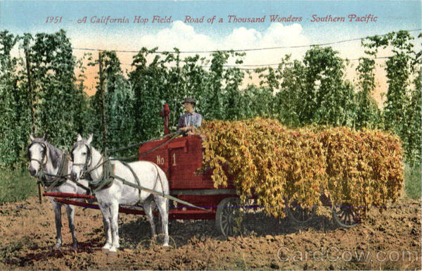 A California Hop Field, Road of Thousand Wonders Southern Pacific