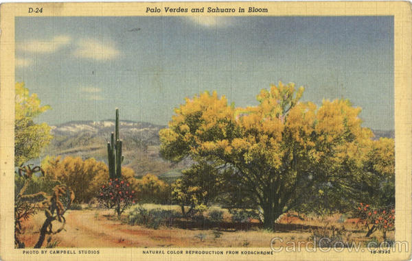 Palo Verdes And Sahuaro In Bloom Cactus & Desert Plants