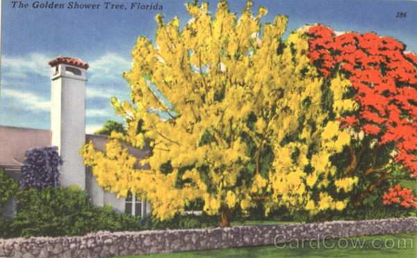 The Golden Shower Tree Scenic Florida Flowers