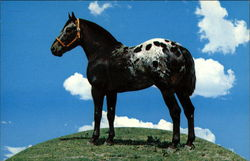 Top O' the World - Soap Sonny Appaloosa - Schulte Ranch