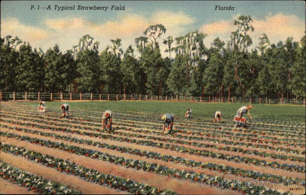 A typical strawberry field Florida