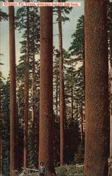 Oregon Fir Trees, Average Height 250 Feet