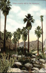 Palms Growing Wild in the Mountains