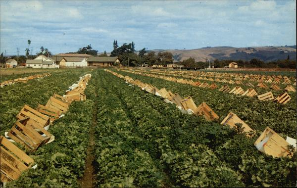 Field of Lettuce California Max Mahan