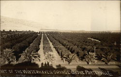 Winterhaven Orange Grove