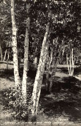 Birches in Itasca State Park
