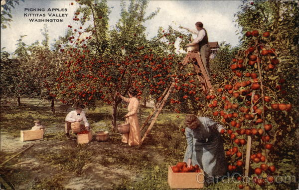 Picking Apples Kittitas Valley Washington