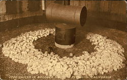 1700 chicks in brooder house