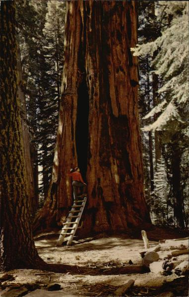 Room Tree, Giant Forest, Sequoia National Park California