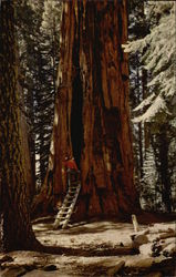 Room Tree, Giant Forest, Sequoia National Park