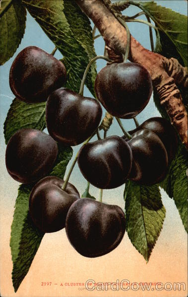 A Cluster of Black Tartarian Cherries Fruit